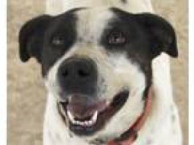 Adopt Raven a Pit Bull Terrier, Australian Cattle Dog / Blue Heeler