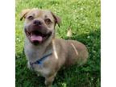 Adopt Benner a Pug / Mixed dog in Quakertown, PA (25804503)