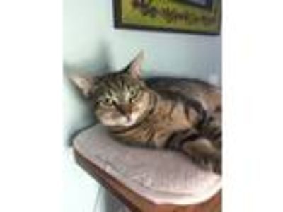 Adopt Cashew a Domestic Short Hair