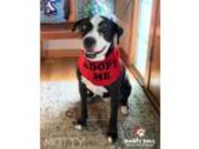 Adopt Motty a Black - with White Border Collie / American Staffordshire Terrier