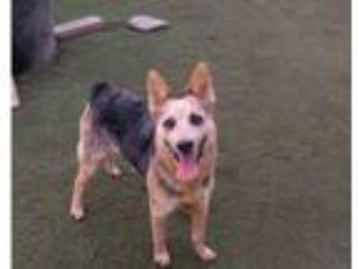 Adopt Cruiz- Courtesy Post a Australian Cattle Dog / Blue Heeler