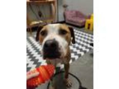 Adopt Briscoe a Brown/Chocolate - with White Pit Bull Terrier / Mixed dog in