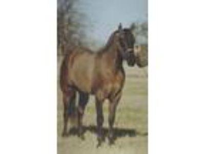 AQHAIBHAFQHRNFQHA 87 16HH Grulla Stallion