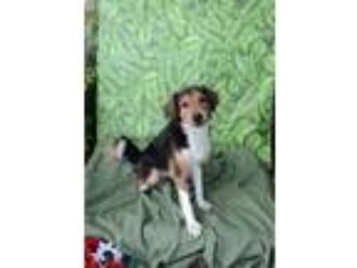 Adopt Scarlet a Australian Shepherd, Mixed Breed