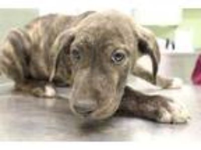 Adopt Beetle a Brown/Chocolate American Pit Bull Terrier / Mixed dog in