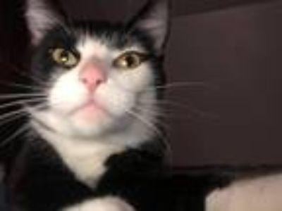 Adopt Aviva a Black & White or Tuxedo Domestic Shorthair (short coat) cat in
