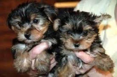 Yorkie puppy s