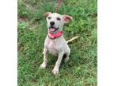 Adopt Martha a Labrador Retriever