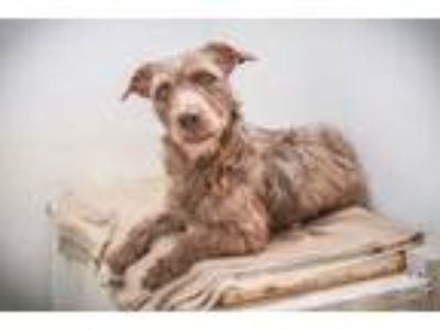 Adopt Ronnie a Brown/Chocolate Terrier (Unknown Type, Medium) / Mixed dog in