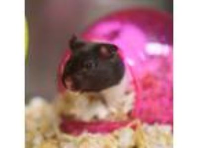 Adopt VERSACE a Black Hamster / Mixed small animal in Las Vegas, NV (25907907)
