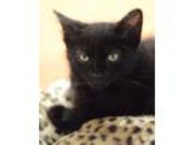 Adopt Borealis a Domestic Mediumhair / Mixed (medium coat) cat in Novato