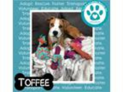 Adopt Toffee a Boxer, Pit Bull Terrier
