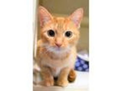 Adopt Cream a Orange or Red Tabby Domestic Shorthair (short coat) cat in