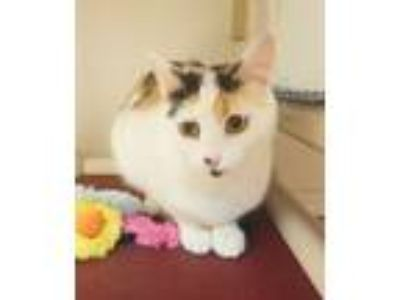 Adopt Misty a Domestic Short Hair