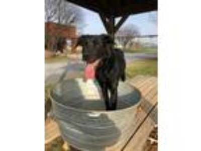 Adopt Oakley a Black German Shepherd Dog / Labrador Retriever / Mixed dog in