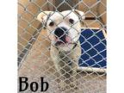 Adopt BOB a White - with Black American Pit Bull Terrier / Mixed dog in Macon