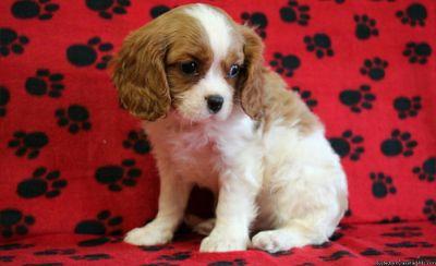 Baby Cavalier Puppy.