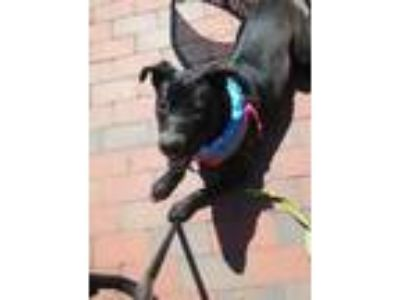 Adopt Leia a Black - with White American Pit Bull Terrier / Labrador Retriever /