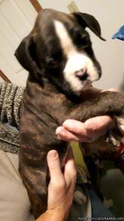 Golden Retriever boxer cross puppies