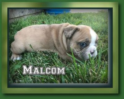 Malcom Male French Bulldog