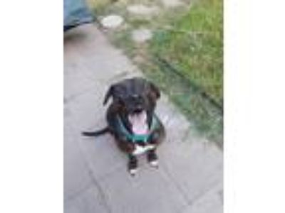 Adopt Darla Baby Girl a Brindle Labrador Retriever / Rottweiler / Mixed dog in