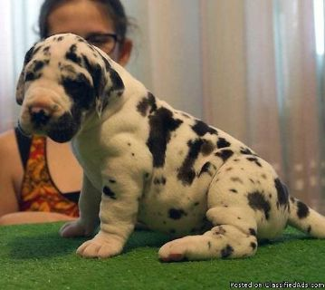 diotr Great Dane Puppies Ready now