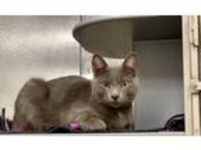 Adopt Jayce A Fine Gray Kitty a Gray or Blue Domestic Shorthair (short coat) cat