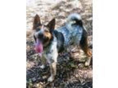 Adopt Mirage SCAS a Australian Cattle Dog / Blue Heeler