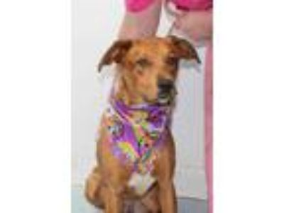 Adopt Katy a Red/Golden/Orange/Chestnut Labrador Retriever / Mixed dog in