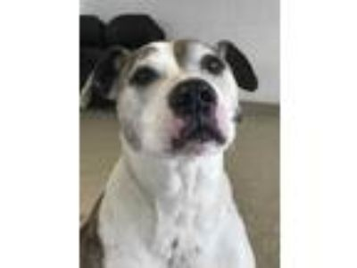 Adopt Buddy *ADOPTION FEE SPONSORED* a White American Pit Bull Terrier / Mixed