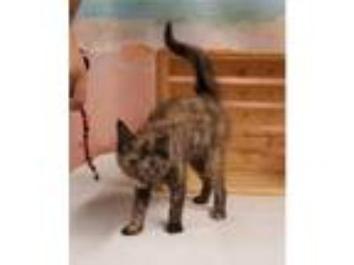 Adopt LILIANA a All Black Domestic Shorthair / Domestic Shorthair / Mixed cat in