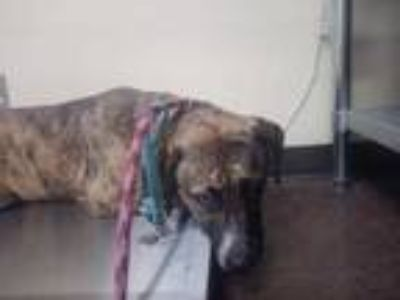 Adopt 42254256 a Brown/Chocolate Hound (Unknown Type) / Mixed dog in Land