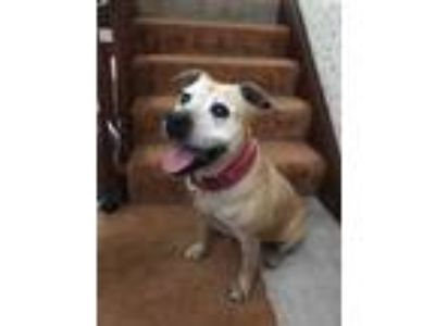 Adopt Nitty a Tan/Yellow/Fawn Boxer / Terrier (Unknown Type