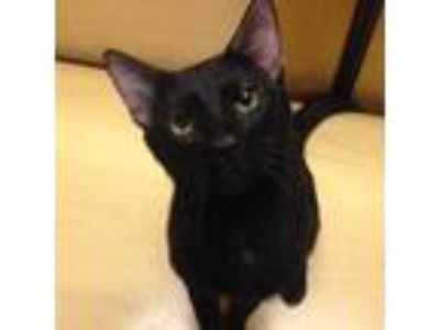 Adopt Elijah a All Black Domestic Shorthair / Domestic Shorthair / Mixed cat in