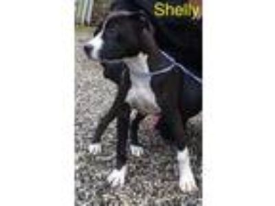 Adopt Shelly a Black American Pit Bull Terrier / Mixed dog in Dahlonega