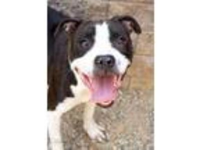 Adopt Charlotte a Black Boxer / Terrier (Unknown Type, Small) / Mixed dog in