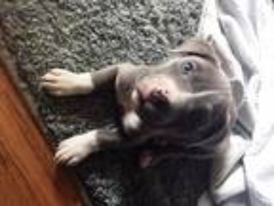 Adopt Bruce a Gray/Blue/Silver/Salt & Pepper Pit Bull Terrier / Mixed dog in
