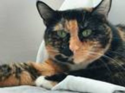 Adopt Hazel a Tortoiseshell Domestic Mediumhair / Mixed cat in Bridgeview