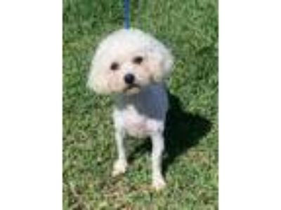 Adopt Girly a White Poodle (Miniature) / Mixed dog in Loxahatchee, FL (25371618)