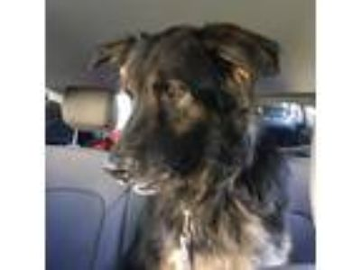 Adopt **COURTESY LISTING** Padfoot a Shepherd, Mixed Breed
