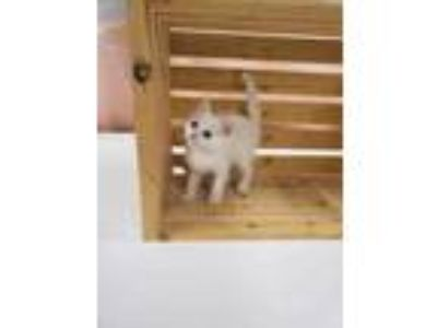 Adopt PHOEBE a White Domestic Shorthair / Domestic Shorthair / Mixed cat in