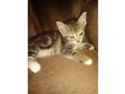 Adopt Spunky a Gray, Blue or Silver Tabby Domestic Shorthair / Mixed cat in