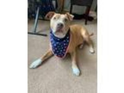Adopt Hercules a Tan/Yellow/Fawn American Pit Bull Terrier dog in Arlington