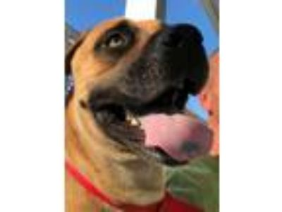 Adopt Chantel a Mastiff, Mixed Breed