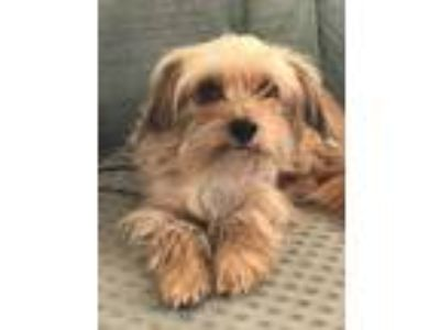 Adopt MAY a Tan/Yellow/Fawn - with White Lhasa Apso / Terrier (Unknown Type