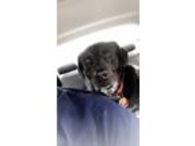 Adopt Oliver a Black - with White Labrador Retriever / Boxer / Mixed dog in