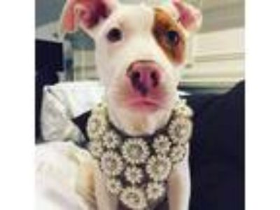 Adopt Rosie - ADOPTION PENDING a Pit Bull Terrier, American Staffordshire
