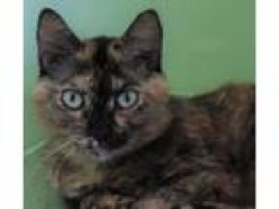 Adopt Evie a Tortoiseshell Domestic Shorthair (short coat) cat in Plant City