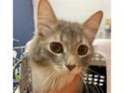 Adopt Phoebe a Domestic Longhair / Mixed (long coat) cat in Pittsburgh