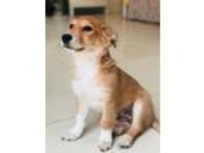 Adopt 'LULU' a Red/Golden/Orange/Chestnut - with White Collie / Corgi / Mixed